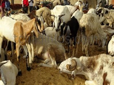 Les moutons de Tabaski sont là, hors de portée des Tchadiens