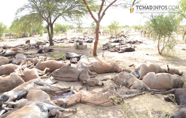 Au Tchad, une peste décime 300 000 ânes et chevaux sur 13 provinces